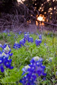 early bluebonnets 2017-4