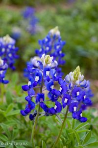 early bluebonnets 2017-7