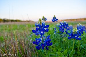 early bluebonnets 2017-8